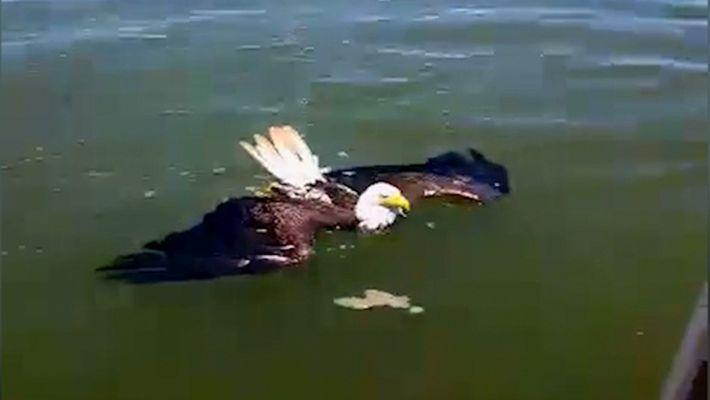 Schwimmender Adler aus Bucht gerettet