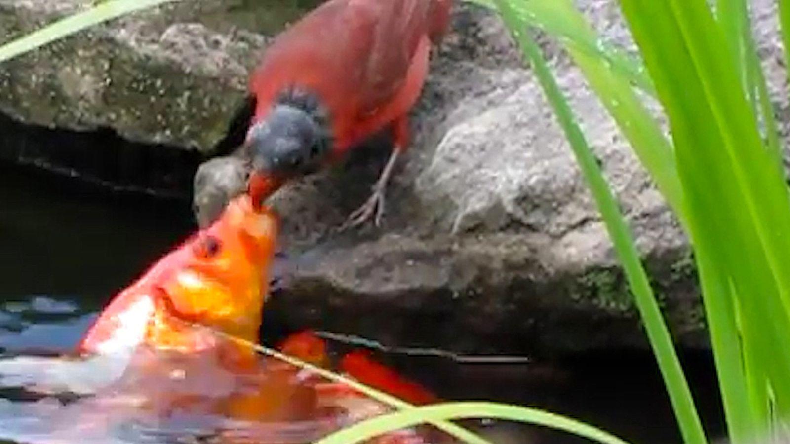 Warum füttert dieser Vogel Goldfische?