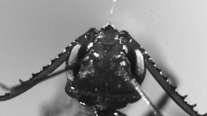 Ameisenkiefer schnappt in unter einer Millisekunde zu