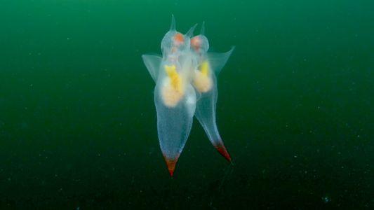 Seltene Aufnahmen zeigen Paarungstanz der Ruderschnecken im Meer