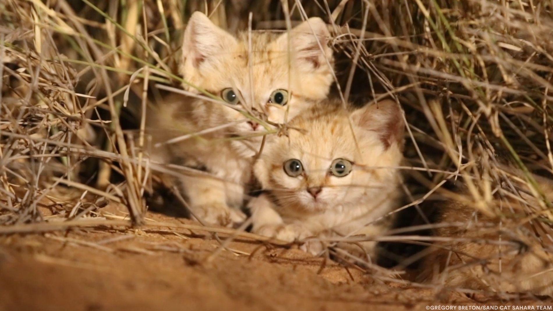 Einmalige Aufnahmen von Sandkatzenwelpen in freier Wildbahn