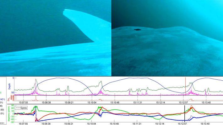 """Blauwale sind größtenteils """"Linkshänder"""""""