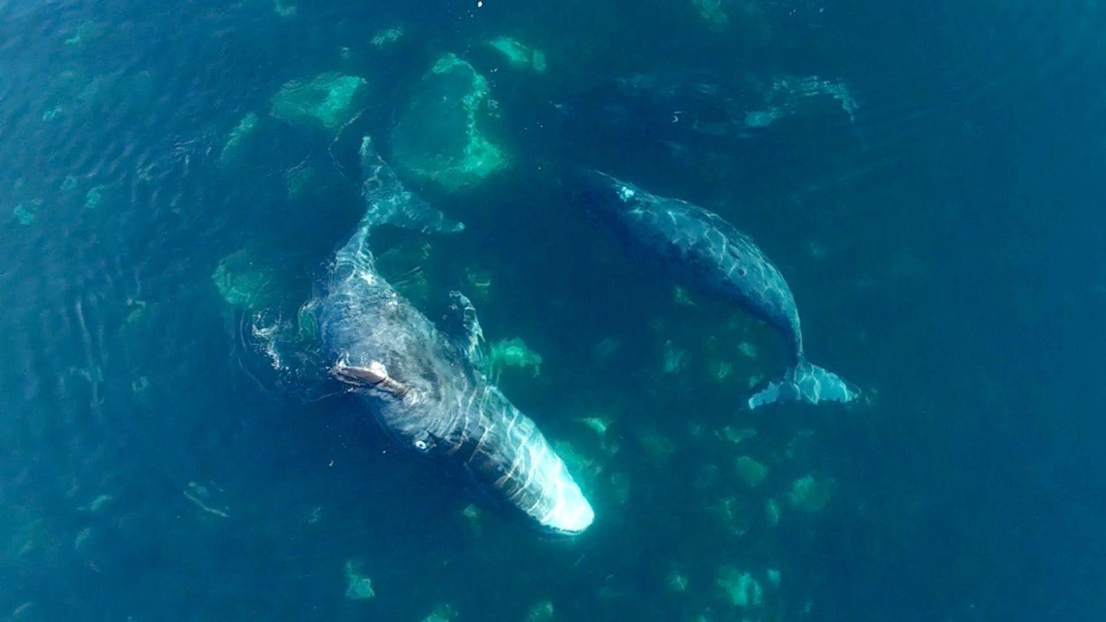 Grönlandwale beim Spa-Besuch