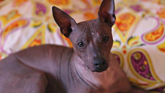 Die spannende Geschichte der Mexikanischen Nackthunde
