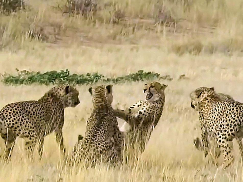 Gepardenweibchen kämpft gegen vier Männchen, die um sie werben
