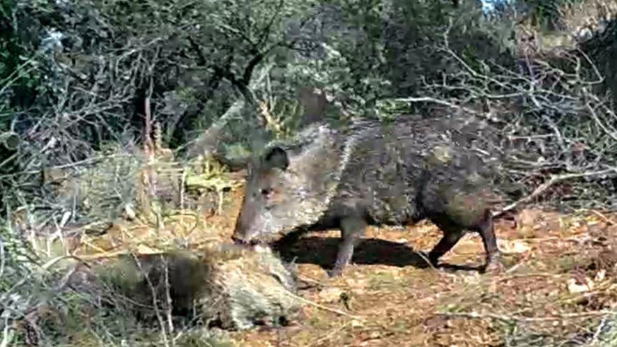 Video zeigt womöglich erstmals Trauerverhalten von Nabelschweinen