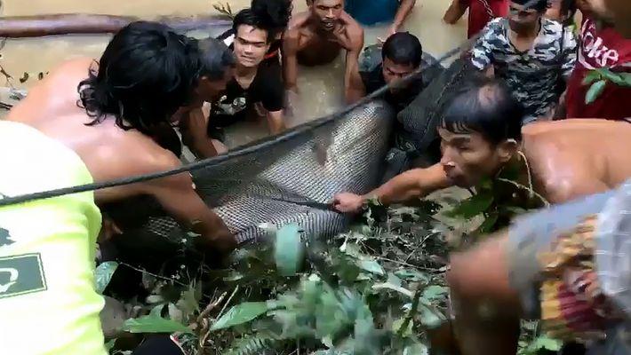 200 kg schwerer Riesenwels in Thailand gerettet
