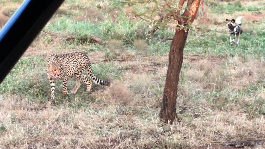 Gepard gegen Wildhunde
