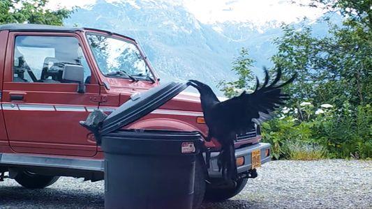 Dieser gewitzte Rabe überlistet einen verschlossenen Müllcontainer