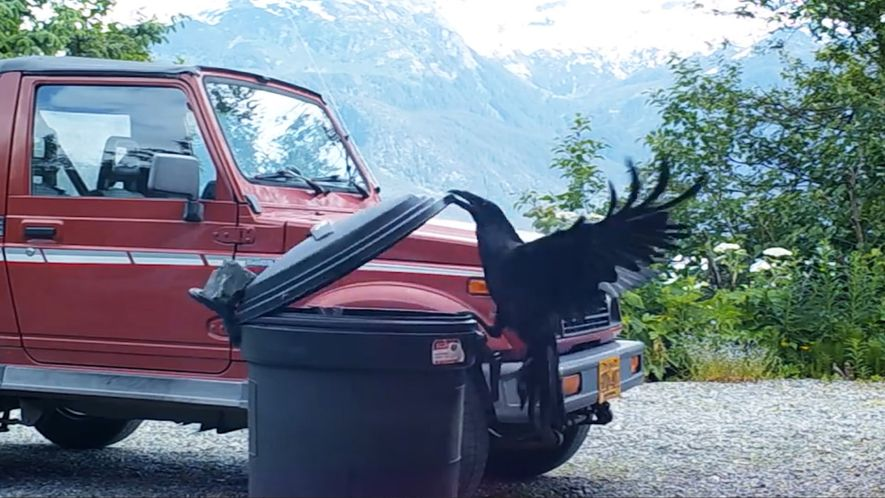 Cleverer Rabe öffnet eine Mülltonne