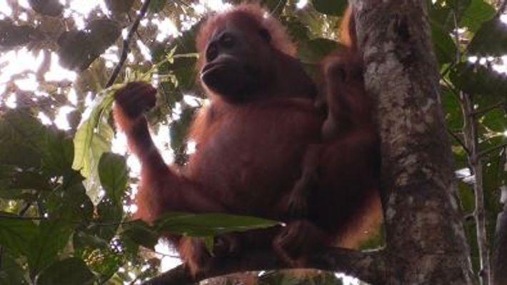 Orang-Utans säugen ihre Jungen deutlich länger, als man vermuten könnte
