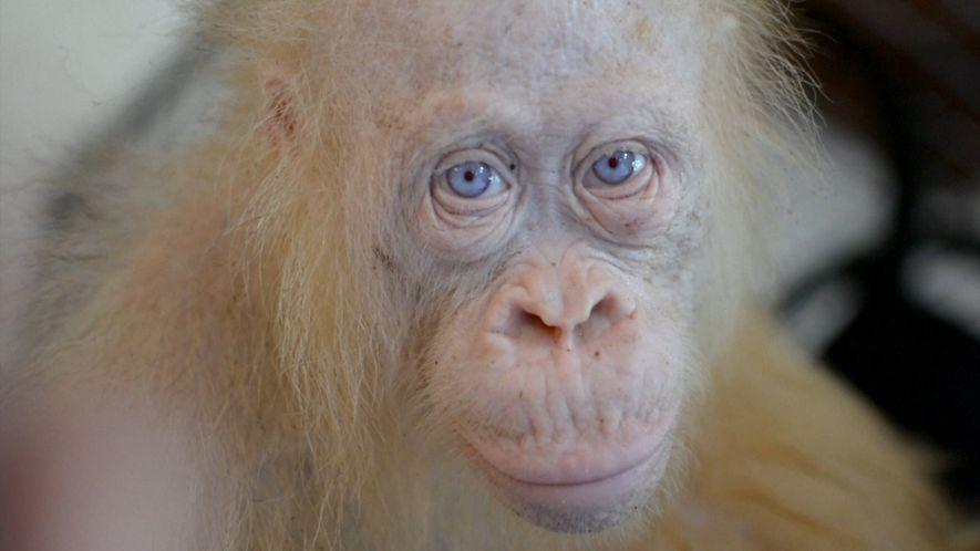 Extrem seltener Albino-Orang-Utan in Indonesien entdeckt