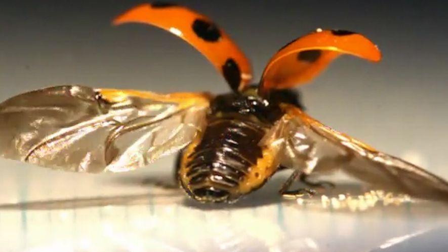 Insekten-Origami: Marienkäfer falten kunstvoll ihre Flügel