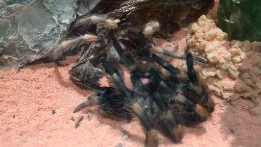 Diese Tarantel krabbelt aus ihrem Exoskelett