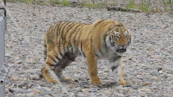 Tiger, der durch russische Stadt spazierte, wird ausgewildert