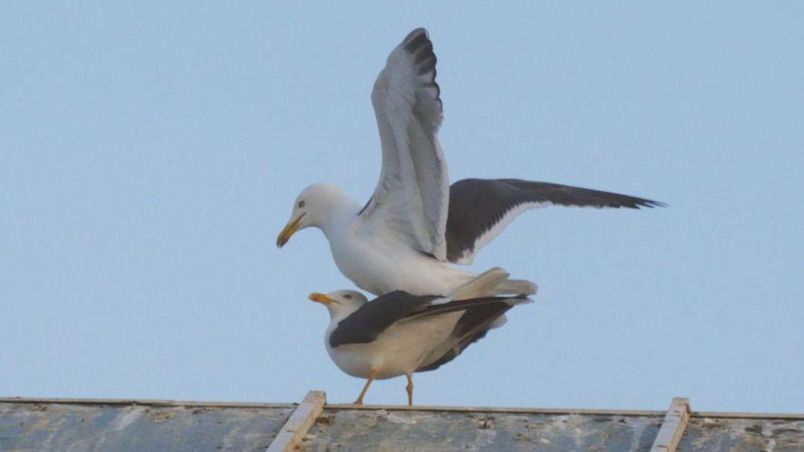 Die Paarung von Seemöwen ist ein heikler Balanceakt