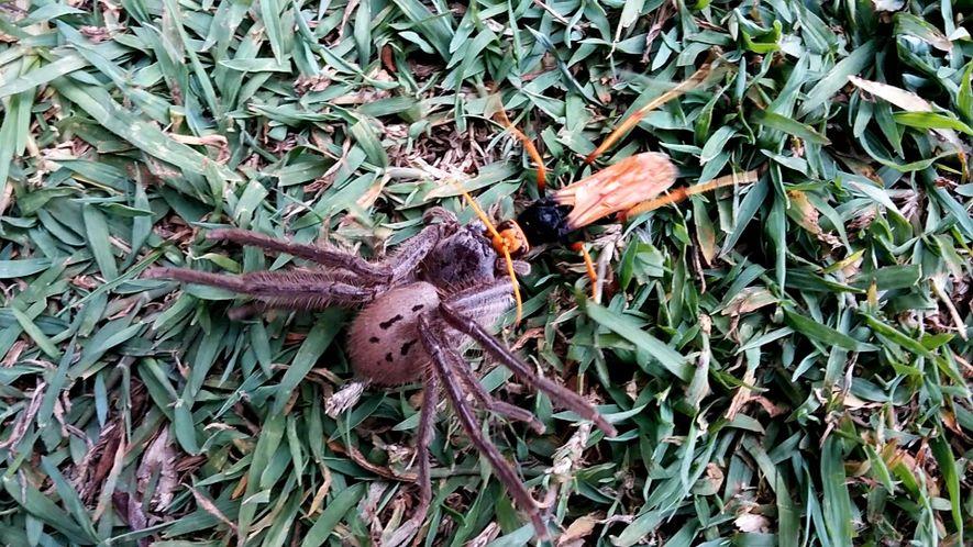 Wespe paralysiert Spinne – aber der Kampf geht weiter
