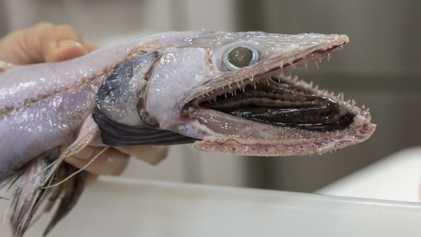 Der alptraumhafte Tiefsee-Eidechsenfisch hat bewegliche Zähne
