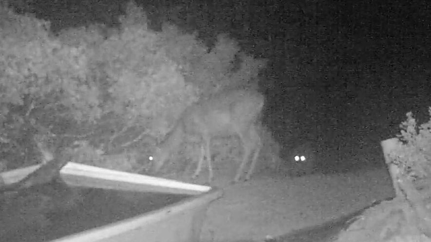 Puma stürzt sich auf einen Hirsch