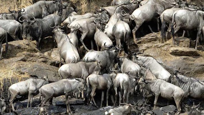 1.000 Tonnen Gnukadaver helfen der Serengeti