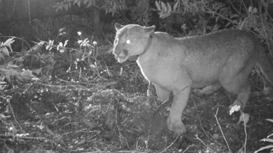 Pumas haben Angst vor menschlichen Stimmen