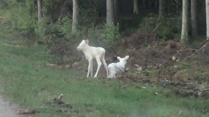 Seltene weiße Elchzwillinge in Norwegen entdeckt