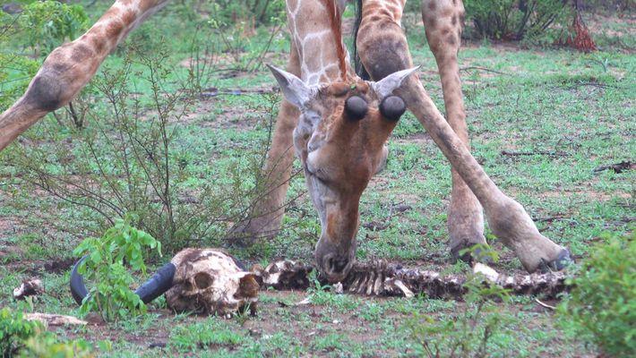 Weshalb Giraffen Gerippe fressen