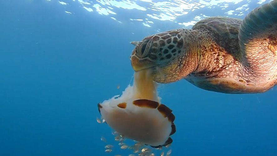 Suppenschildkröte genießt eine Quallenmahlzeit