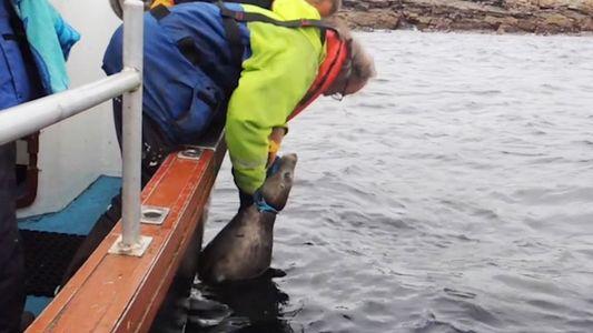 Retter befreien Robbe, die sich in Leine verfangen hat