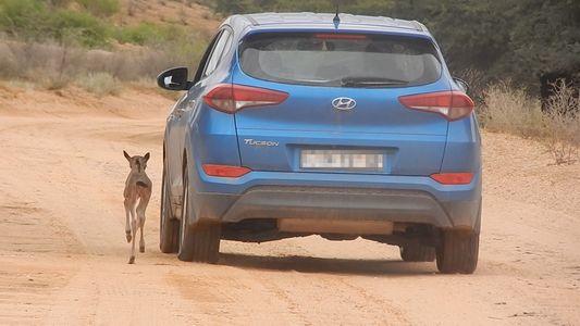 Verirrtes Gnukalb verwechselt Auto mit seiner Mutter
