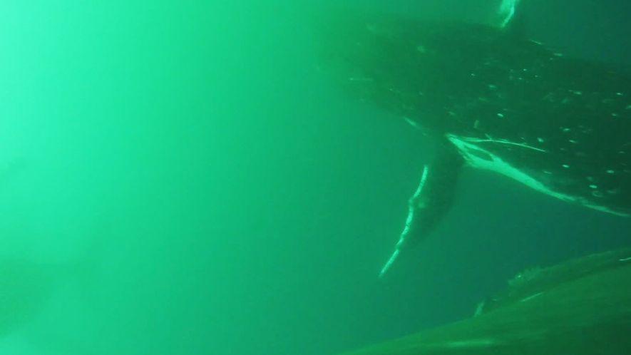 Erstmals gefilmt: Wale schlagen mit Flossen wie mit Flügeln