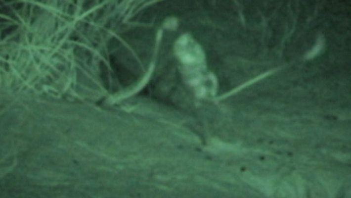 Zeitlupe: So wehren Wüstenkängururatten Schlangenangriffe ab