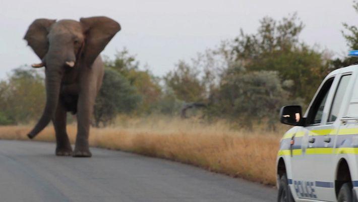 Stürmischer Elefantenbulle amüsiert sich vermutlich nur