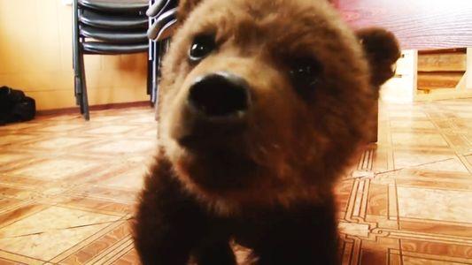 Junger russischer Braunbär gerettet