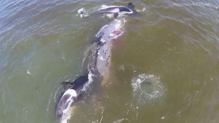 Orcas erlegen Grönlandwal mit koordinierter Jagdstrategie