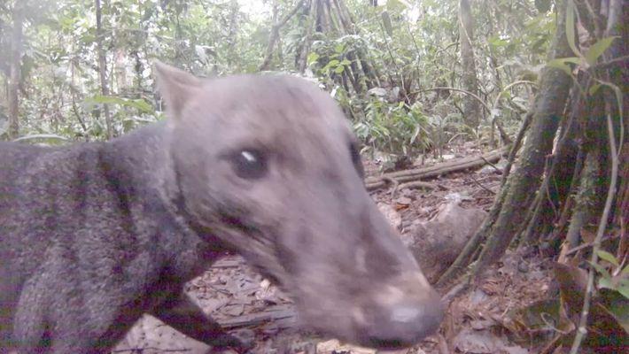 Seltene Hundeart des Amazonas gefilmt