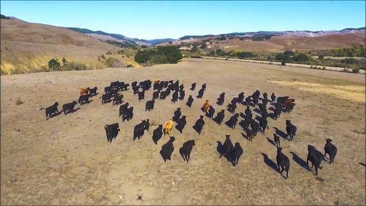 Eine Drohne, die Vieh hütet