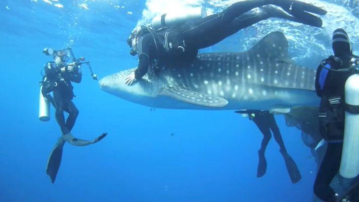 Taucher retten vier Walhaie aus Netzen