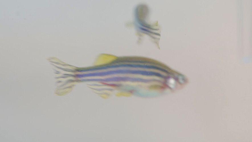 Fische auf Drogen könnten helfen, Drogensucht zu behandeln