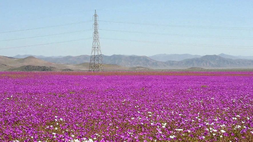 Blütenpracht an einem der trockensten Orte der Welt