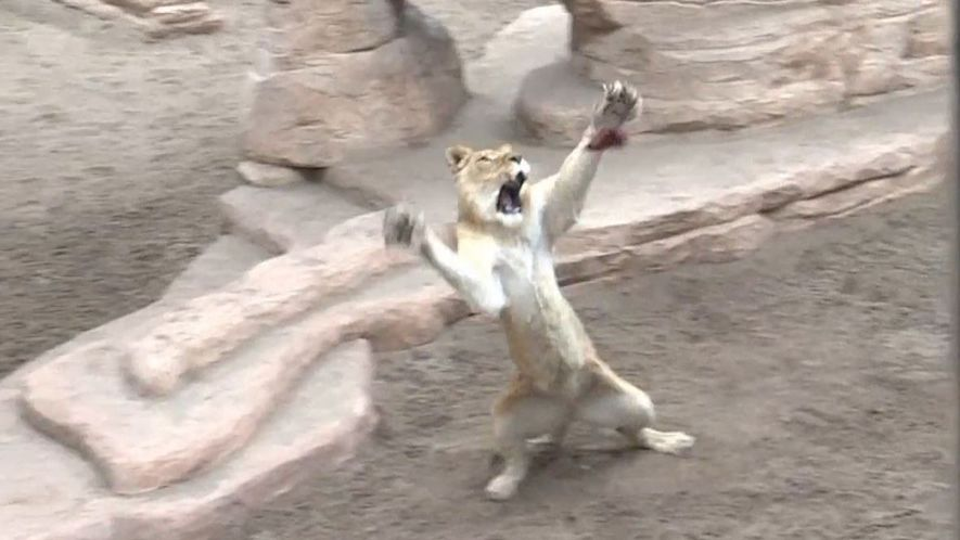 Rettungsstation bringt Löwen und Tigern das Jagen bei