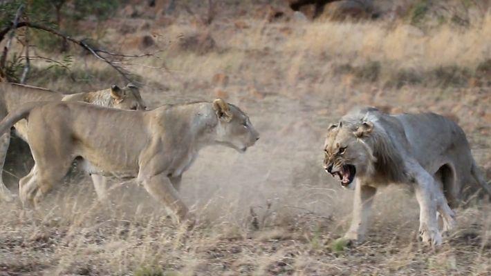 Löwe wird von seinem Rudel vertrieben