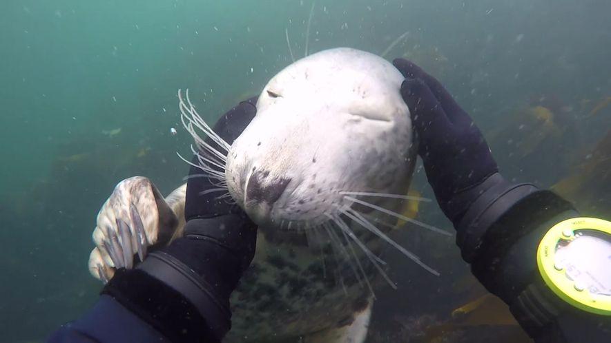 Neugierige Robbe untersucht Taucher