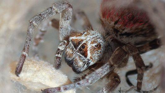 Diese Spinnen fressen ihre Mütter