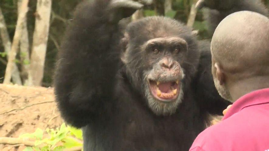 Einsamer Schimpanse ist letzter Überlebender auf Insel