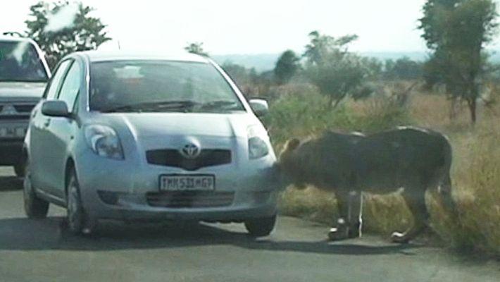 Löwe lernt, dass Reifen schlechte Beute sind