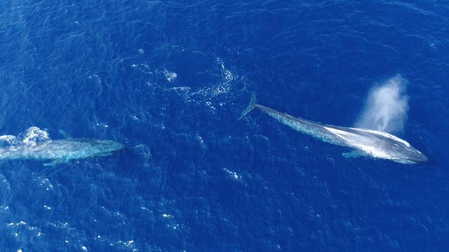 """Womöglich erste Aufnahmen eines """"""""Hitzelaufs"""""""" von Blauwalen"""