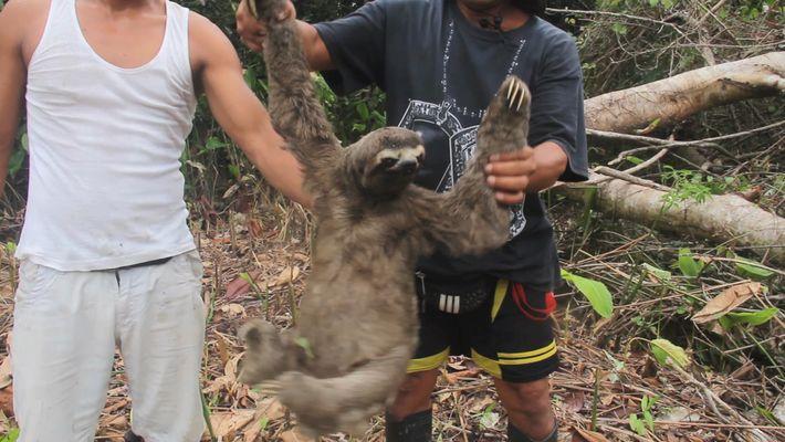 Aufnahmen zeigen, wie ein Faultier gefangen und auf dem Schwarzmarkt verkauft wird