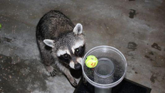 Waschbären bestehen berühmten Intelligenztest – aber anders als geplant