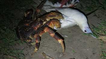Riesige Krebse erbeuten sogar Vögel